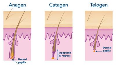 fasi di crescita del capello